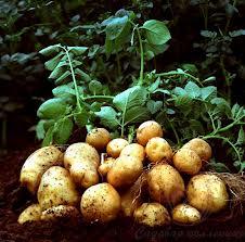 Сонник перебирать картофель